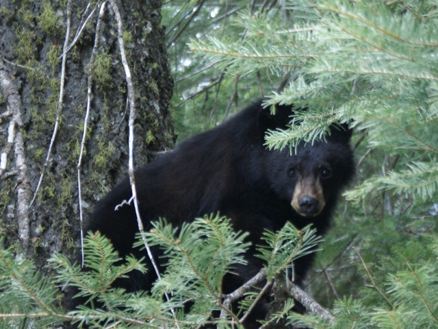 The Black Bear I followed up into a Tree