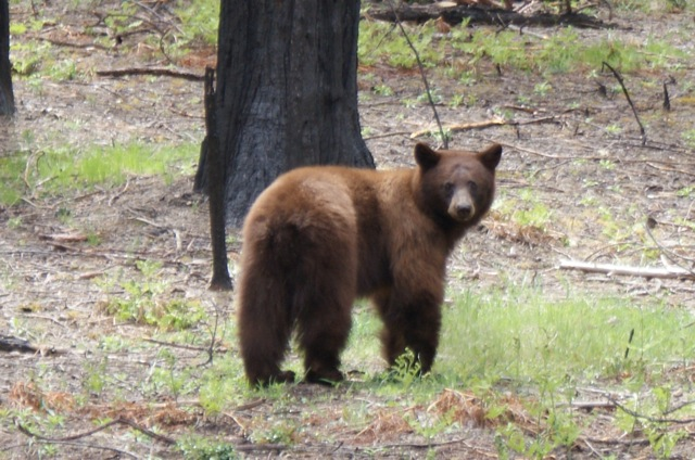 Yosemite Brown Bear (technically a black bear)